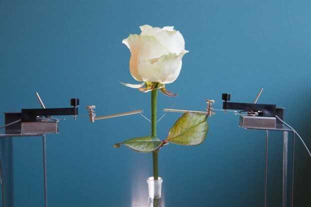 Ρεύμα από φυσικό τριαντάφυλλο!