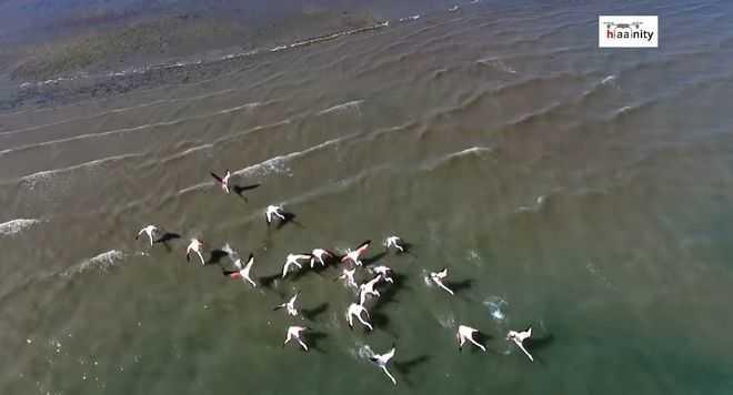 Μαγικό drone βίντεο: Εξωτικά φλαμίνγκο μόλις 2 ώρες από την Αθήνα
