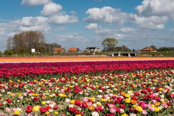 Πολύχρωμο μωσαϊκό από τουλίπες στους αγρούς της Ολλανδίας!