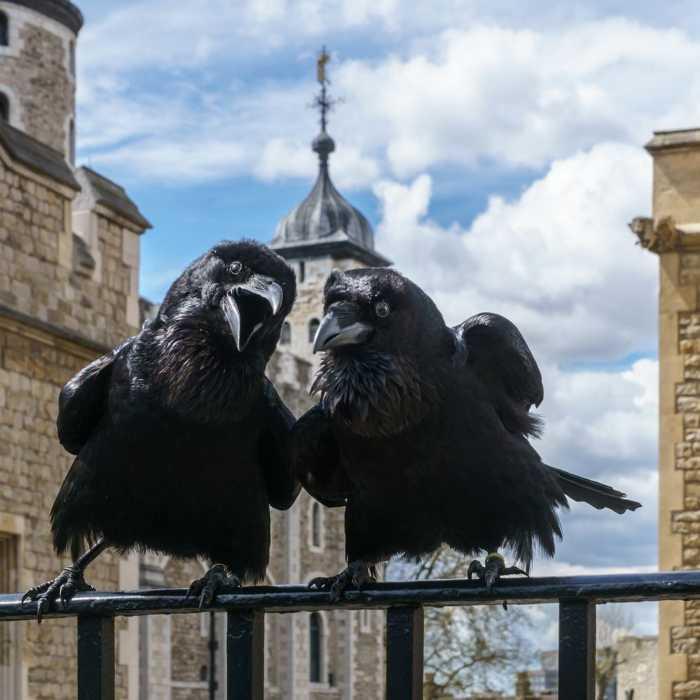 Τα κοράκια στον Πύργο του Λονδίνου ζουν βασιλικά!