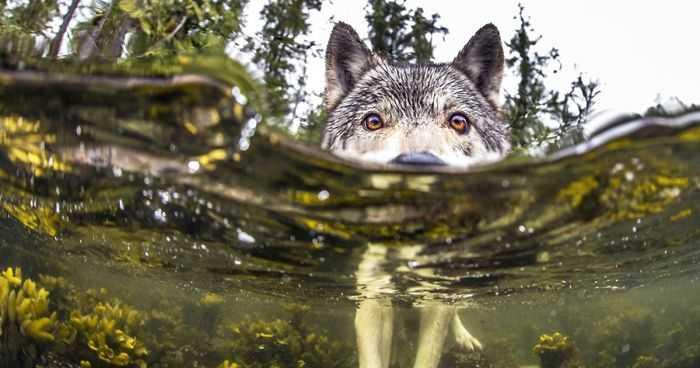 Οι σπάνιοι λύκοι που κολυμπούν και τρώνε ψάρια!