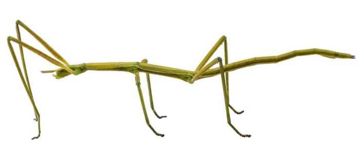 Το μεγαλύτερο έντομο του κόσμου έχει μήκος 64 εκατοστά
