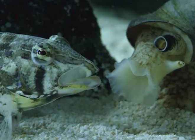 Σαλιγκάρι της θάλασσας καταβροχθίζει ψάρι!