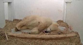 Πολική αρκούδα γέννησε το αρκουδάκι της μπροστά στις κάμερες