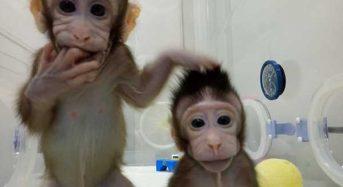 Οι Zhong Zhong και Hua Hua είναι οι πρώτες κλωνοποιημένες μαϊμούδες!