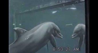 Τα δελφίνια αναγνωρίζουν τον εαυτό τους στον καθρέφτη δείτε το Video