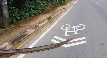 Γιγαντιαίο ανακόντα διασχίζει τον δρόμο και διακόπτει την κυκλοφορία
