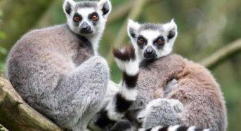 Οι λεμούριοι απειλούνται με εξαφάνιση