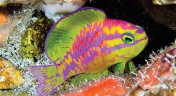 Νέο πολύχρωμο ψάρι ανακάλυψαν οι επιστήμονες